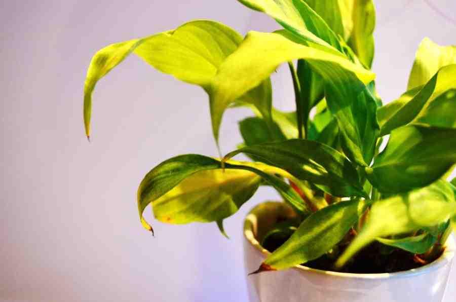 Comment faire reverdir les plantes ?