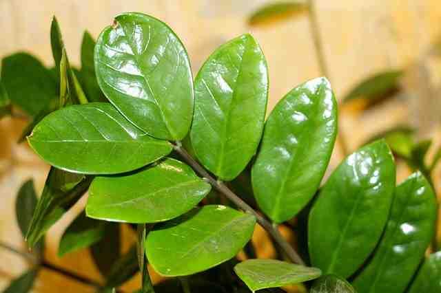 Pourquoi les feuilles de plantes vertes jaunisse ?