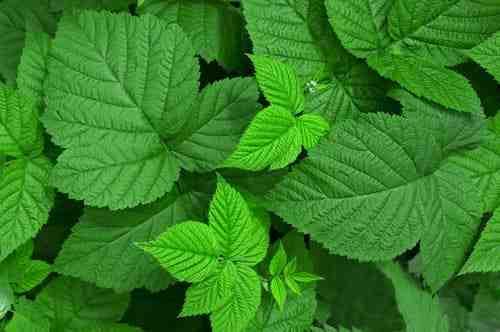 Quelle est la plante médicinale la plus utilisée au monde?