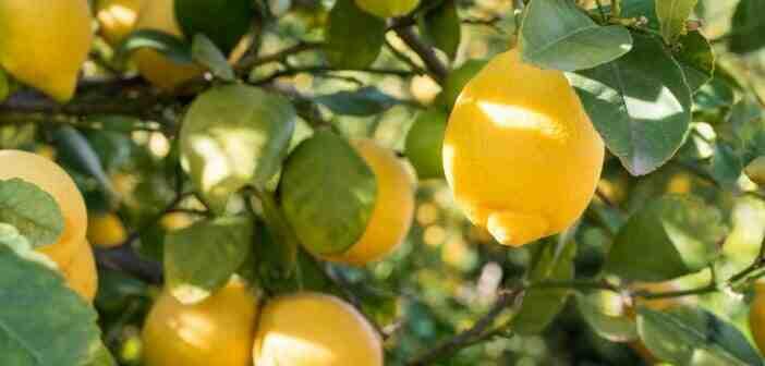 Comment maigrir en 5 jours avec du citron ?
