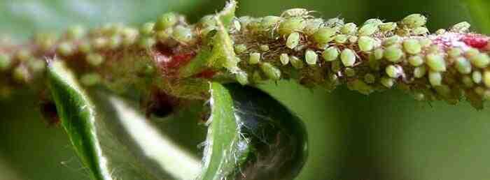 Comment éliminer les parasites des plantes?