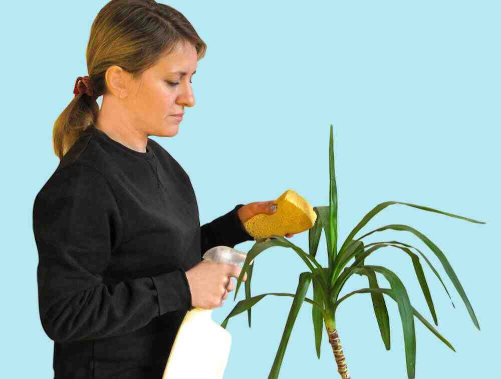 Comment enlever les feuilles mortes du yucca ?