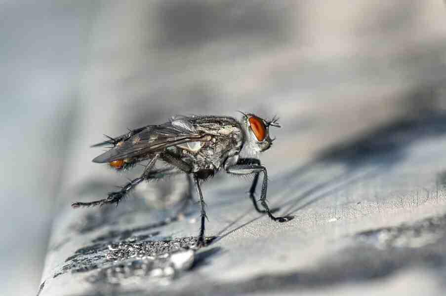 Comment naissent les mouches de la cuisine ?
