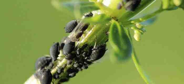 Comment pouvez-vous vous débarrasser des plantes moucherons?
