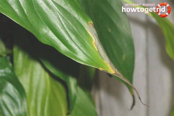 Comment sauver la plante jaune ?