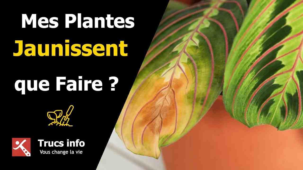 Comment sauver une plante jaune ?