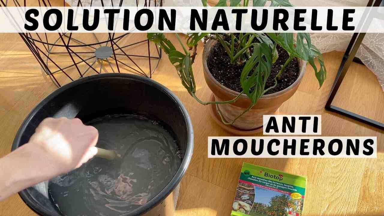Comment se débarrasser des moucherons sur les plantes d'intérieur ?