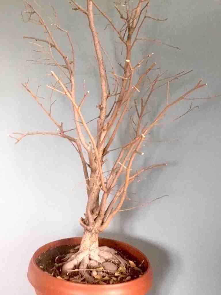 Comment soigner un ginseng ficus qui perd ses feuilles ?