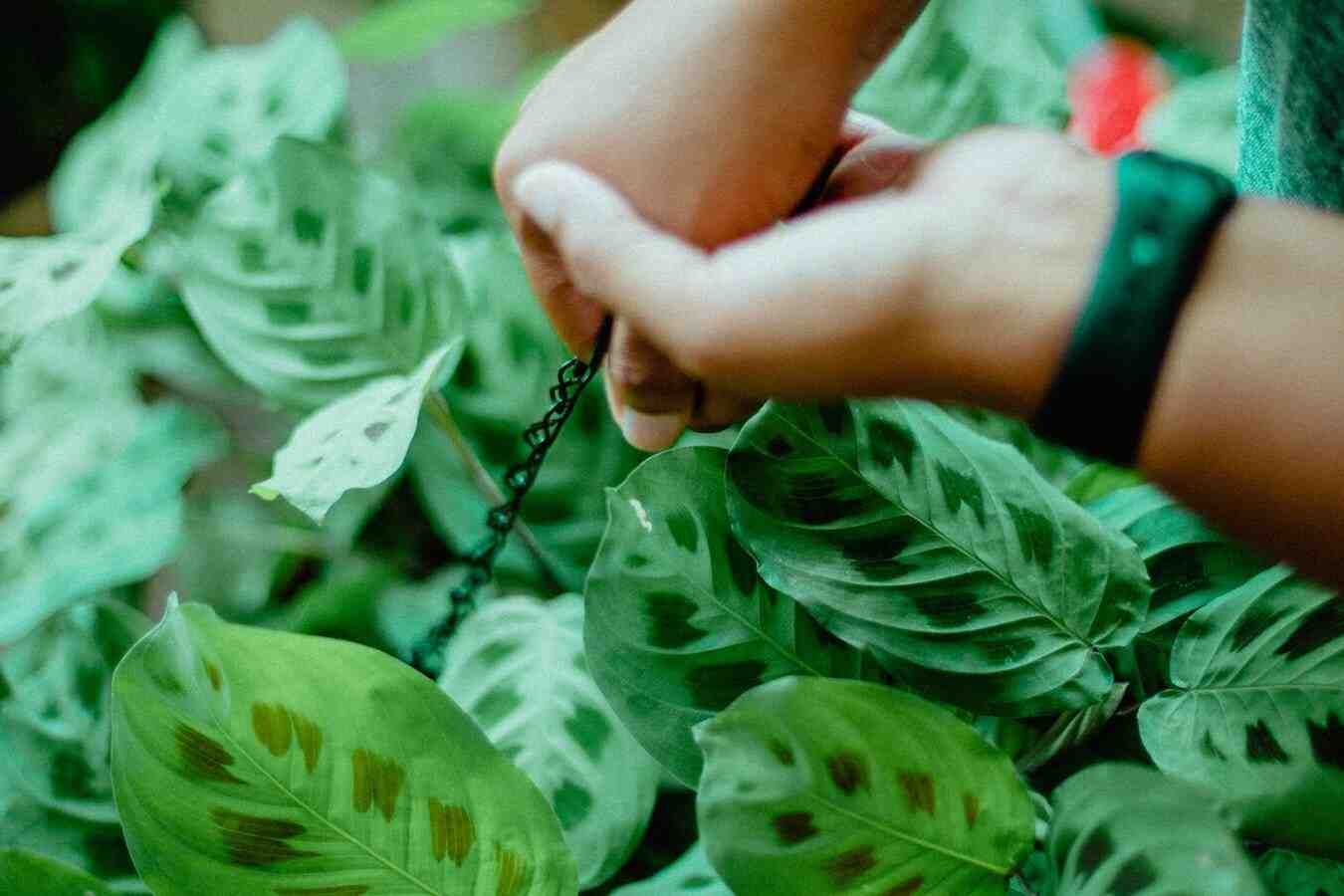 Comment traiter les pucerons sur les plantes d'intérieur ?