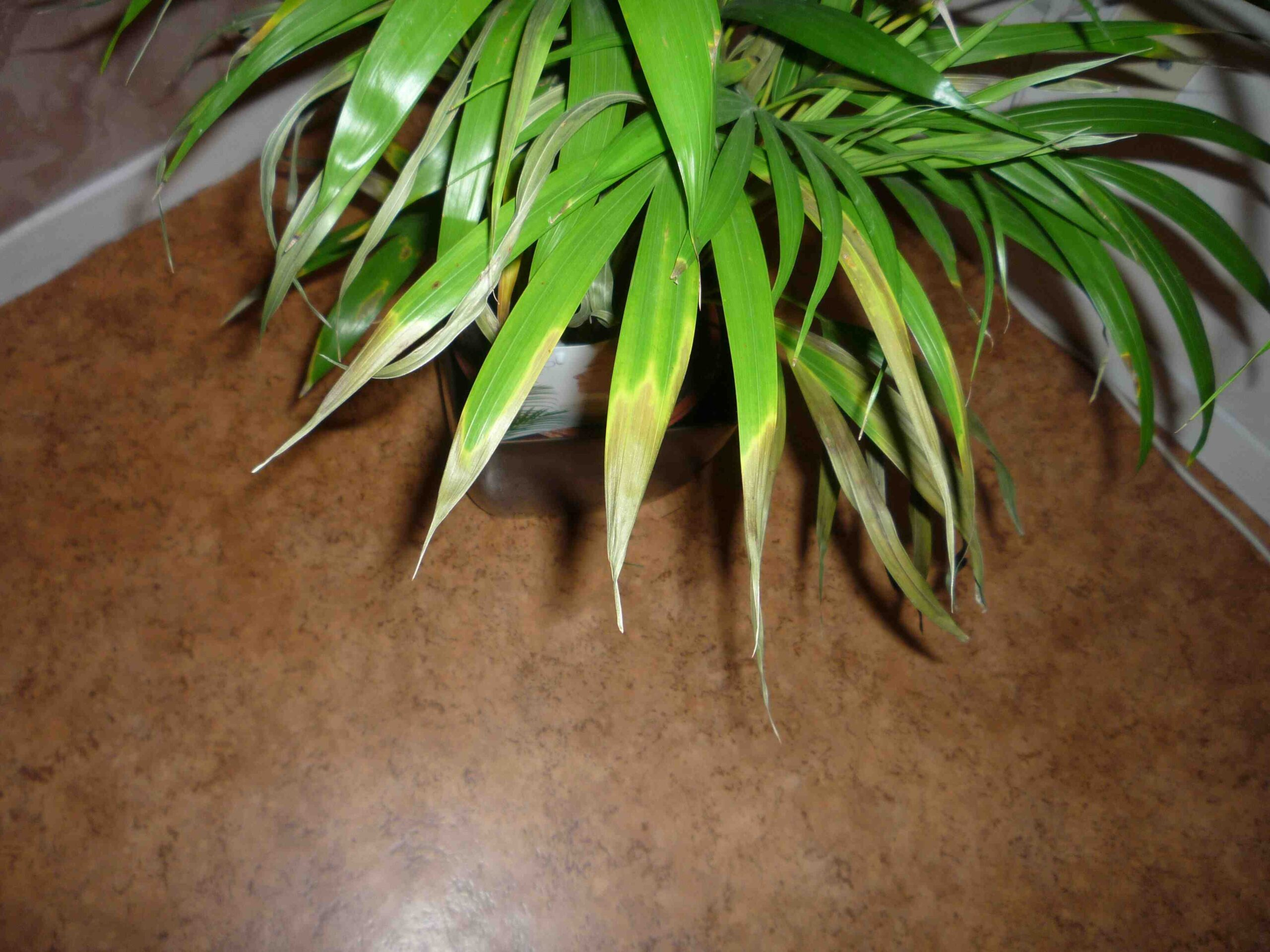 Pourquoi mon yucca à des feuilles jaunes ?