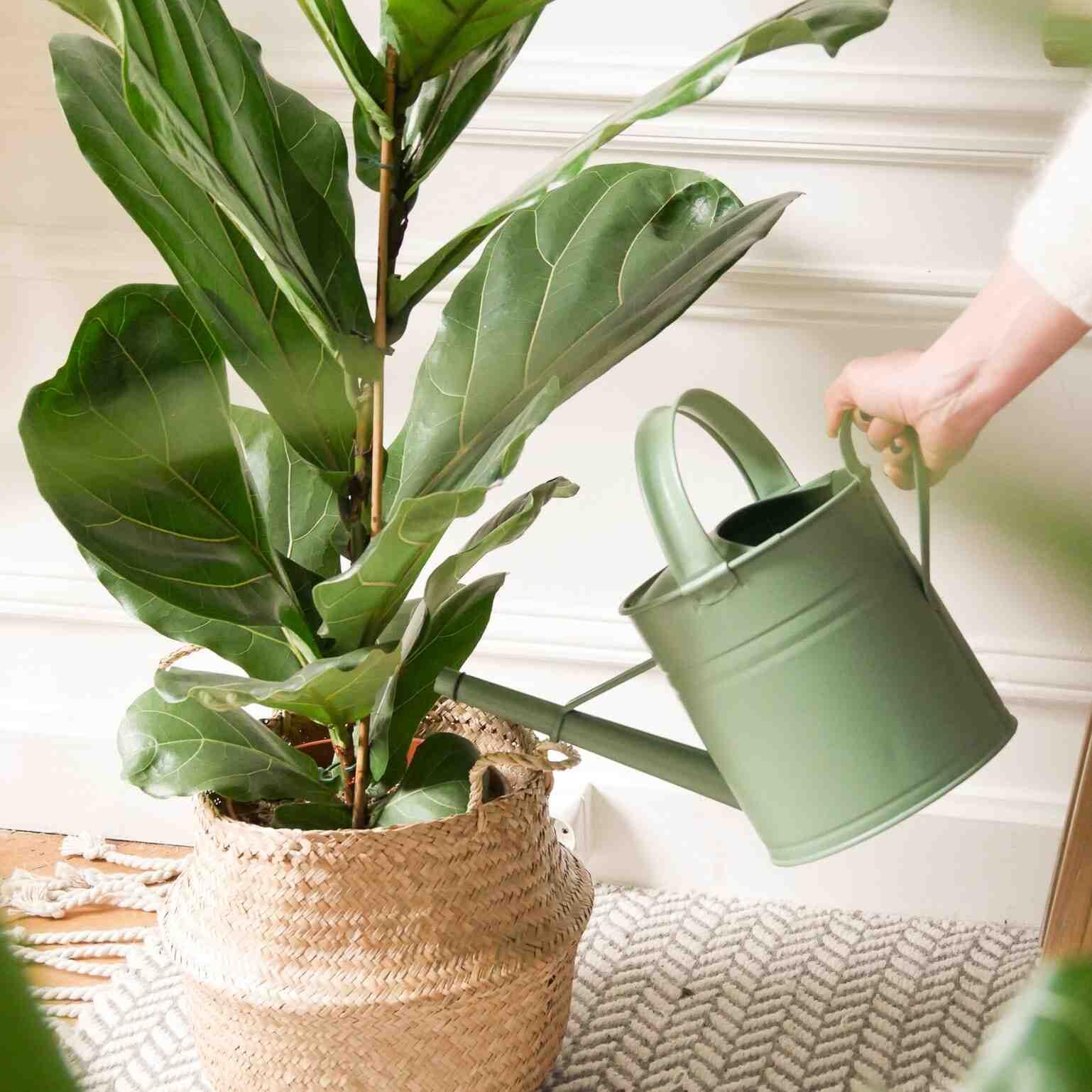Comment entretenir les feuilles de votre plante verte ?