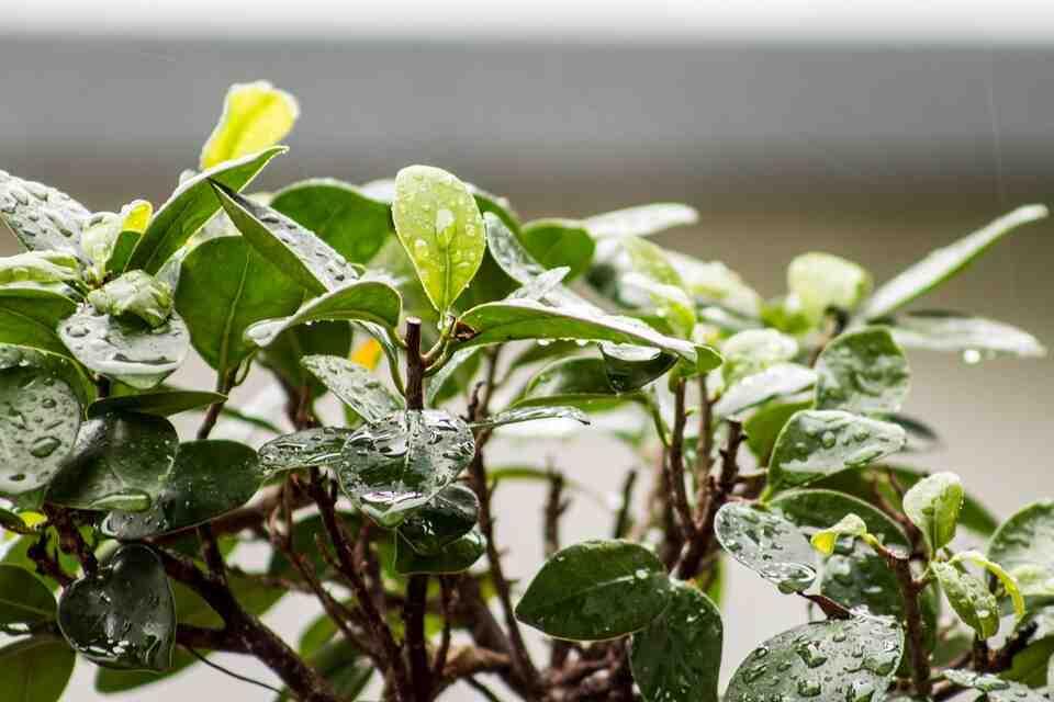 Comment se débarrasser des pucerons des plantes d'intérieur ?
