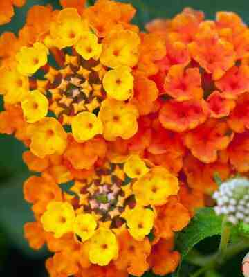 Comment tailler Lantana ?