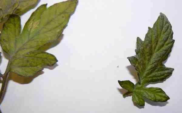 Pourquoi les feuilles de mon Anthurium noircissent-elles ?