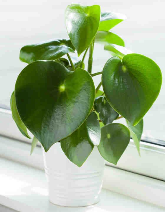Pourquoi les feuilles d'une plante verte jaunissent-elles ?